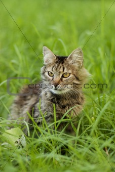 gray cat on a background of green grass