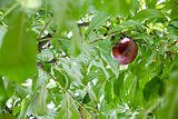 red ripe plum on green branch in summer day