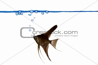 Black scalare fish and waterline