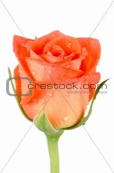 Beautiful orange rose flower