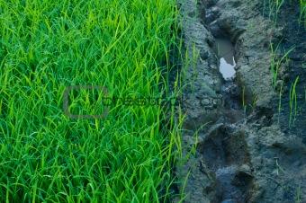 Green grass of rice field