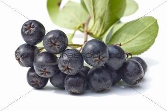 black chokeberry,Aronia melanocarpa