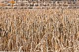 Wheat ,Triticum aestivum