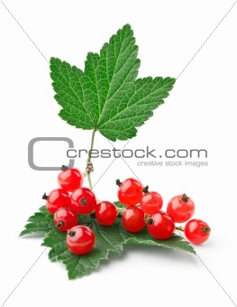 Branch of red currants with leaves