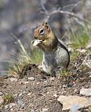 Squirrel chews a piece of apple