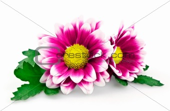 Bright purple chrysanthemum