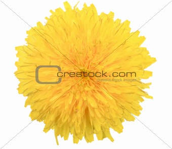 One yellow flower of dandelion isolated on white background