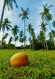 Coconut lying on grass under palm