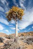 Quiver Tree in South African landscape