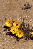 yellow desert plant in South Africa 