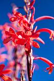Tropical red flower against a blue sky