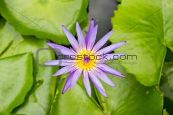 A blooming lotus flower