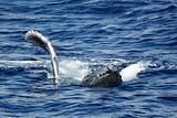 The young humpback whale