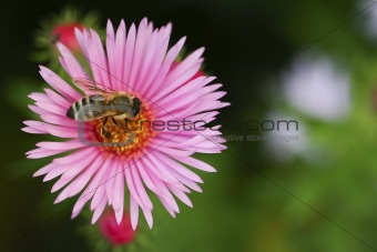 One aster flower with bee