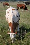 Brown white cow in the herd