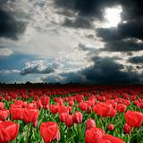 Storm clouds over the tulip field