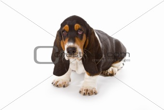 Cute basset puppy