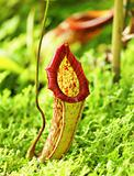 Pitcher plant