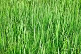 Green tall grass - natural background