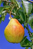 Ripe pear hanging on a branch