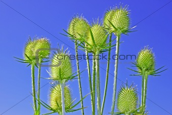 Teasel inflorescences
