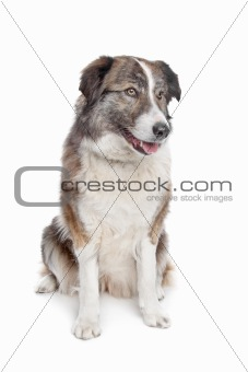 Aidi or atlas mountain dog