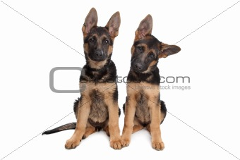 two German shepherd puppies