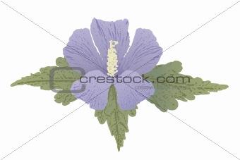 Mauve hibiscus