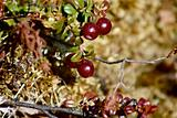 Low-bush cranberries