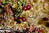 Low-bush cranberries