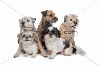 three Border Terrier dogs and two Shih Tzu dogs