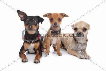 three chihuahua dogs