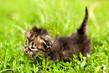 little kitten who walks on the light green grass