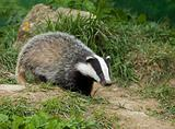 European Badger cub