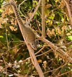 Gambian Sun Squirrel