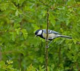 Great Tit and caterpillar