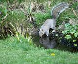 Grey Squirrel drinking