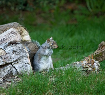 Grey Squirrel on Log Pile