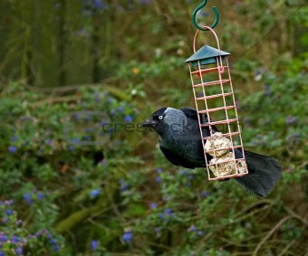 Jackdaw on fat balls