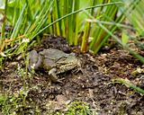Marsh Frog