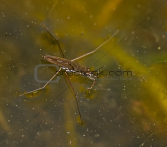 Common Pond Skater