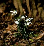 Snowdrops in dappled sunlight