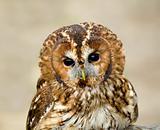 Tawny Owl head