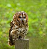 Tawny Owl full length