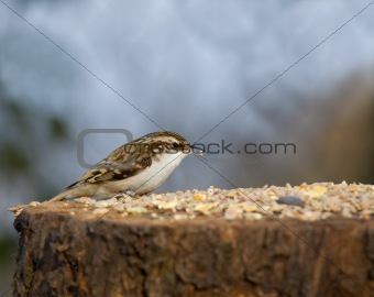 Treecreeper on Table