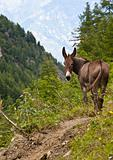 Donkey on Italian Alps