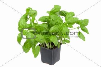 Fresh basil in the flower-pot