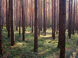 straight wood