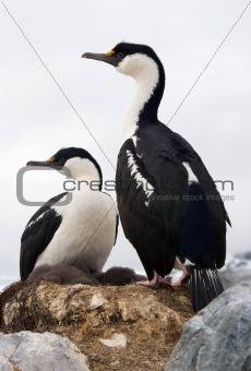 Antarctic blue-eyed cormorant