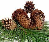 four fir-cone